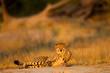 canvas print picture - Africa, Botswana, Moremi Game Reserve, Cheetah (Acinonyx Jubatus) rises from resting spot on low rise near Xakanaxa Camp at dawn