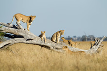 Africa, Botswana, Chobe National Park, Lioness(Panthera Leo) And Cubs Climbing On Toppled Dead Acacia Tree In Savuti Marsh