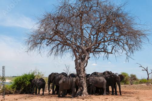 African elephants (Loxodonta africana), Chobe National Park, Botswana Wallpaper Mural