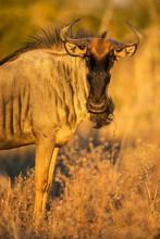 Africa, Botswana, Chobe Nation...