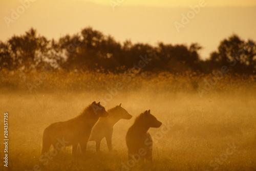 Wall Murals Cow Kenya: Lake Turkana National Park, pack of spotted hyaenas ('Crocuta crocuta') waiting at scene of buffalo killed by lion, at sunrise.