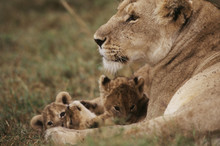 Kenya, Mother Lion Sitting With Cubs