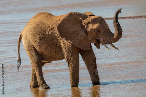 Photo Africa, Kenya, Samburu, Ewaso Ng'iro River, African elephant (Loxodonta Africana)