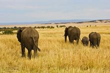 A African Elephant Grazing In The Fields Of The Maasai Mara Kenya.