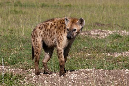 Deurstickers Hyena Spotted Hyena (Crocuta Crocuta), Masai Mara, Kenya
