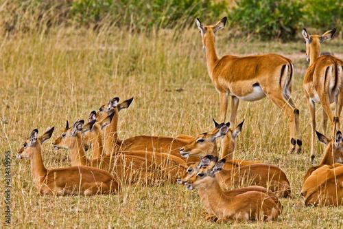 A herd of Impalas roaming the fields in the Maasai Mara Kenya. Fototapet