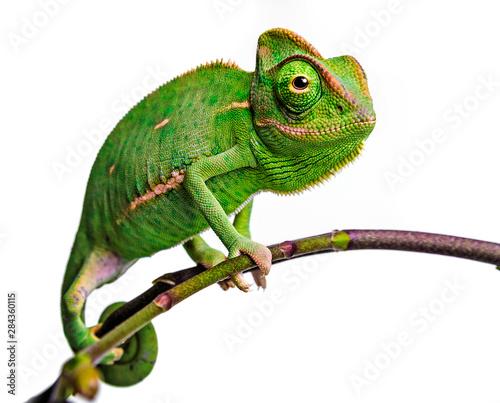 green chameleon - Chamaeleo calyptratus #284360115