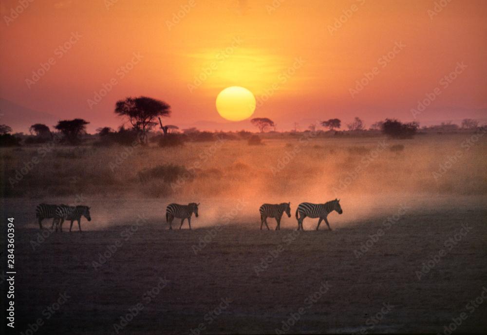 Fototapety, obrazy: Africa, Kenya, Amboseli NP. Zebra walk to the watering hole as the sun sets in Amboseli National Park, Kenya.