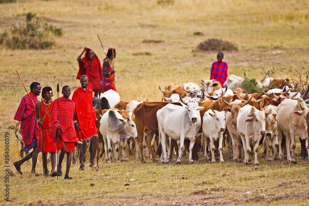 Fototapety, obrazy: The Maasai people are driving their cattle in the Maasai Mara Kenya.