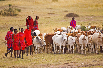 The Maasai people are driving their cattle in the Maasai Mara Kenya.