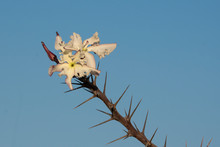 Namibia. Flowers Of The Bottle Tree, Pachypodium Lealii, Bloom At The End Of A Thorny Branch.