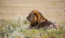 Africa, Namibia, Etosha National Park. Adult Male Lion Resting.
