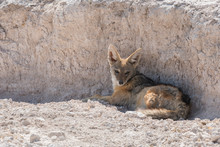 Black-backed Jackal, Canis Mesomelas, Rest In The Shade Of A Desert Wash Wall In Etosha National Park, Namibia.