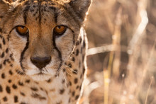 Cheetah Conservation Fund, Namibia. Africa. Off-center Close-up Of A Cheetah.