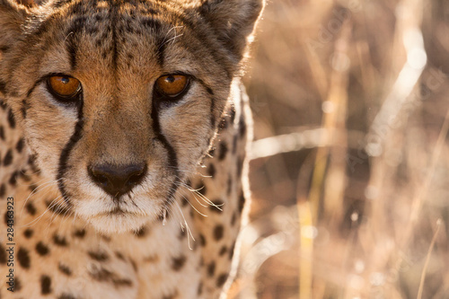 Photographie Cheetah Conservation Fund, Namibia