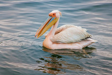 Walvis Bay, Namibia. Eastern White Pelican Resting On The Water.