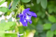 Butterfly Pea Flower, Blue Bell Vine, Cordofan Pea (clitoria Ternatea)