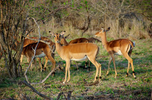 Africa, South Africa, KwaZulu Natal, Hluhluwe, Female Impala At Zulu Nyala Game Reserve