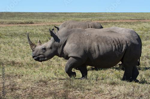 Foto op Aluminium Stierenvechten South Africa, Durban. Tala Game Reserve. Pair of White rhino.
