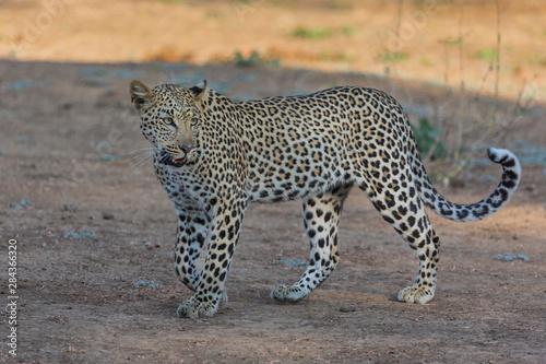 Fototapety, obrazy: Africa, Zambia. Side portrait of walking leopard.
