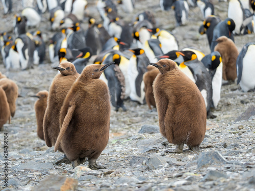 Tuinposter Pinguin King Penguin (Aptenodytes patagonicus) on the island of South Georgia, rookery in St. Andrews Bay. Chick in typical brown plumage