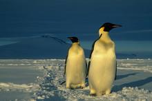 Emperor Penguins, (Aptenodytes Forsteri), Mt. Melbourne Behind, Cape Washington, Ross Sea, Antarctica.