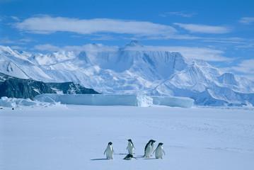 Adelie pingvini, (Pygoscelis adeliae), Antarktika, rt Hallett, zemlja Victoria, nekoliko pingvina adelie na morskom ledu.