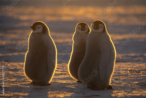Photo Emperor Penguins, (Aptenodytes forsteri), Chicks at Atka Bay, Antarctica
