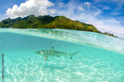Garden Poster Green coral Split shot of black tip reef shark swiming in the clear waters of Moorea Island in French Polynesia