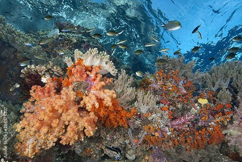 Indonesia, Papua, Raja Ampat. Underwater scenic of fish and coral. Credit as: Jones & Shimlock / Jaynes Gallery / DanitaDelimont.com