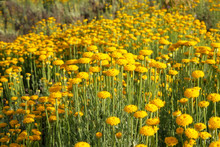 Helichrysum Flowers On Green Nature Blurred Background. Many Yellow Aromatic Flowers For Herbalism In Meadow. Medicinal Herb.