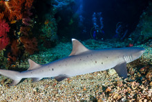 White Tip Reef Shark With Back...