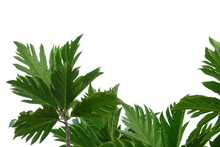 Breadfruit Plant Leaves With B...