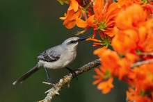Tropical Mockingbird Feasting In Immortal Blooms