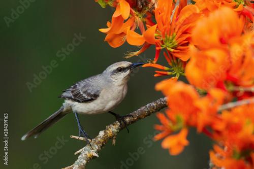 Photo Tropical Mockingbird feasting in Immortal Blooms