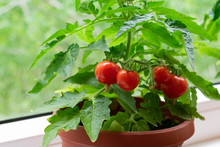 Small Bush Of Balcony Cherry Tomatos In Brown Pots On White Windowsill. Gardening Tomatoes In The Home At Summer