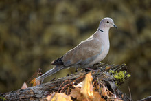 The Eurasian Collared Dove, Simply Called The Collared Dove, Is A Species Of Dove Native To Warm Temperate And Subtropical Asia, And Introduced In North America In The 1980's. Streptopelia Decaocto