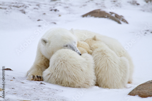 Spoed Fotobehang Ijsbeer Polar bears (Ursus maritimus) mother and two cubs in winter, Churchill Wildlife Management Area, Churchill, Manitoba, Canada.