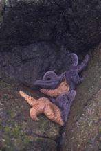 Ochre Stars (Pisaster Ochraceus) Cling To Rocks Awaiting The Tide, Broken Island Group, Pacific Rim National Park Preserve, British Columbia, Canada, September 2006