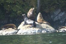 Sea Lions Cavorting Near Batle...