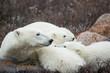 Canada, Manitoba, Churchill, Polar Bear and young cubs (Ursus maritimus) resting on bare tundra along shoreline of Hudson Bay on autumn morning