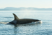 Surfacing Resident Orca Whales...