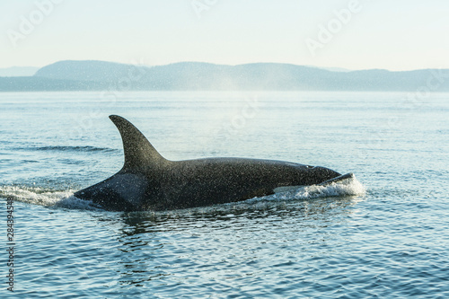 Fototapeta Surfacing resident Orca Whales (Orcinus orca) at Boundary Pass, border between B