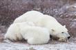 Polar Bears (Ursus maritimus) female with 2 cubs sleeping, Churchill, Manitoba, Canada
