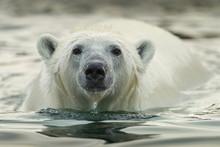 Canada, Nunavut Territory, Repulse Bay, Polar Bear (Ursus Maritimus) Wading Along Shallow Shoreline Of Harbour Islands Along Hudson Bay On Summer Morning