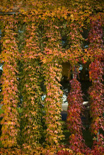 Autumn-colored Ivy Decorating The Front Of The Fairmont Empress Hotel, Inner Harbour, Victoria, Capital Of British Columbia, Canada