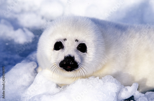 Fotografie, Tablou Harp seal pup ice Gulf of St. Lawrence, Quebec, Canada