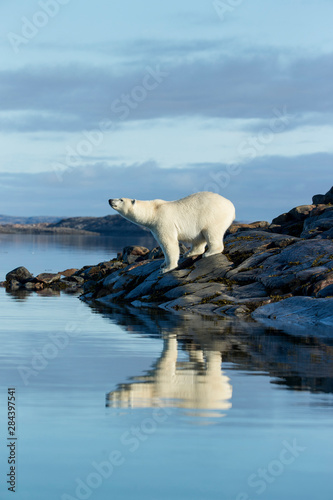 Photo sur Toile Ours Blanc Canada, Nunavut Territory, Repulse Bay, Polar Bears (Ursus maritimus) standing along shoreline of Harbour Islands along Hudson Bay