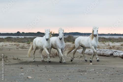 France, The Camargue, Saintes-Maries-de-la-Mer. Camargue horses running along the beach near the Mediterranean Sea.