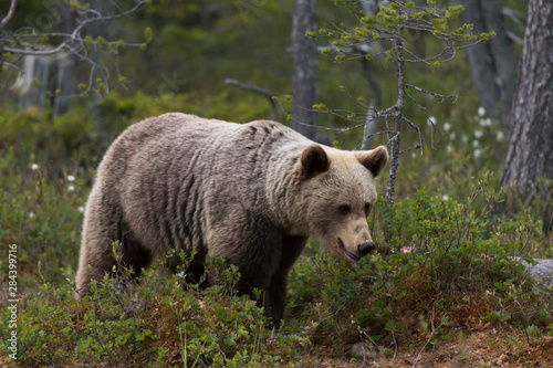 European brown bear, Ursus Arctos, Kuhmo, Finland.